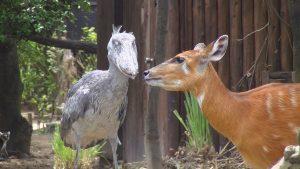 ハシビロコウと鹿